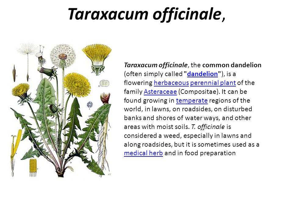 Euphorbia anacampseros var tmolea Euphorbiaceae – Sütleğengiller) It is only found1200 m.high rocky parts of the mountains and frigana in june in İzmir