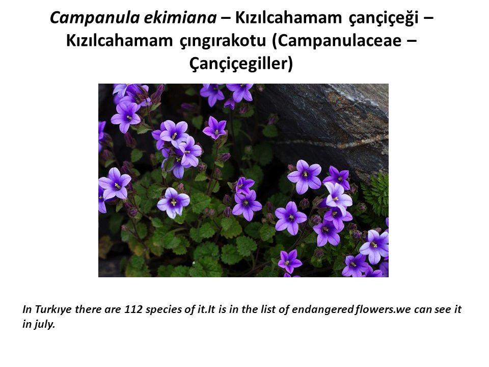 Minuartia saxifraga ssp tmolea (Caryophllaceae – Karanfilgiller) It is found in 1900-2150 m.high stoney lands in june- august in İzmir