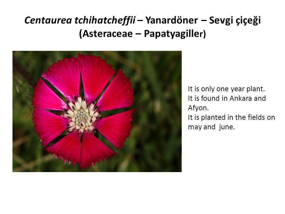 Muscari muscarimi – Misksümbülü, Müşkülüm, Misk soğanı, Dağ misgisi, Dedegülü (Lilaceae – Zambakgiller) It is found in 800- 1920 m.high on the steps in Antalya and Denizli in may and june.