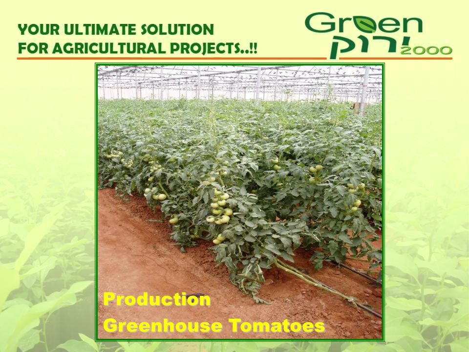 Production Greenhouse Tomatoes