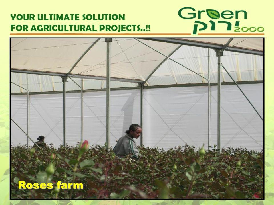 Roses farm