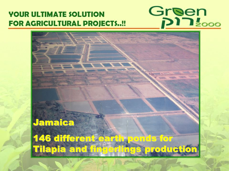 Jamaica 146 different earth ponds for Tilapia and fingerlings production