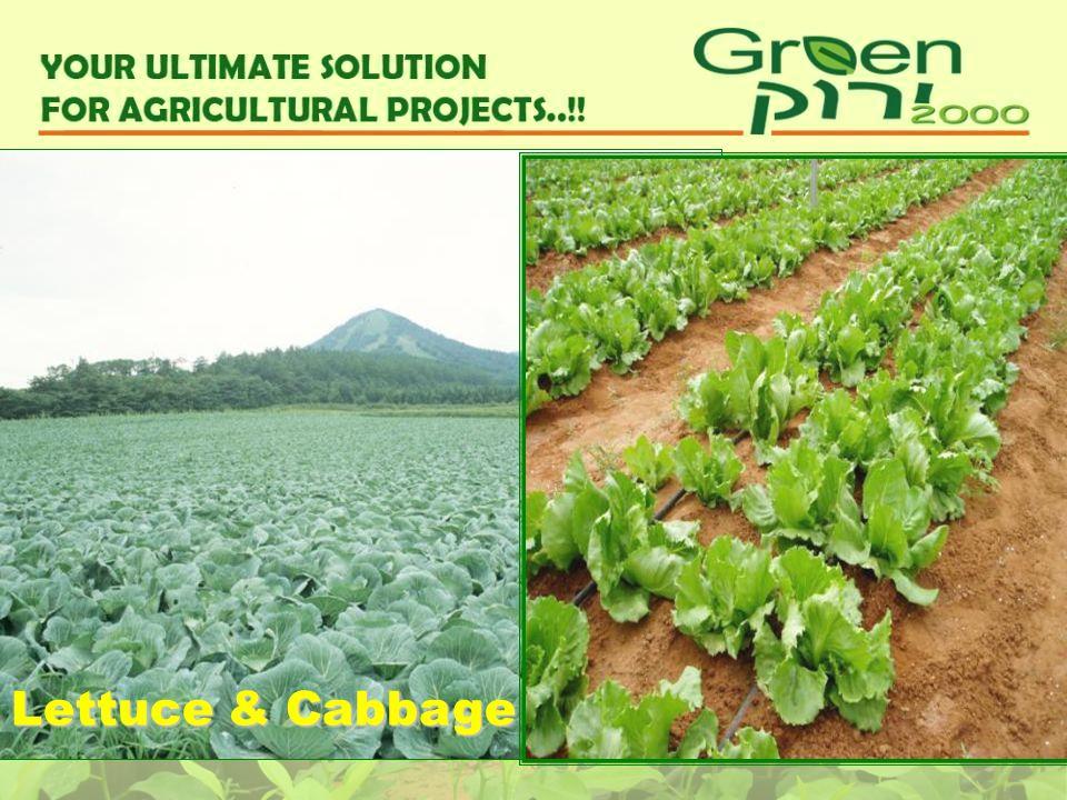 Lettuce & Cabbage