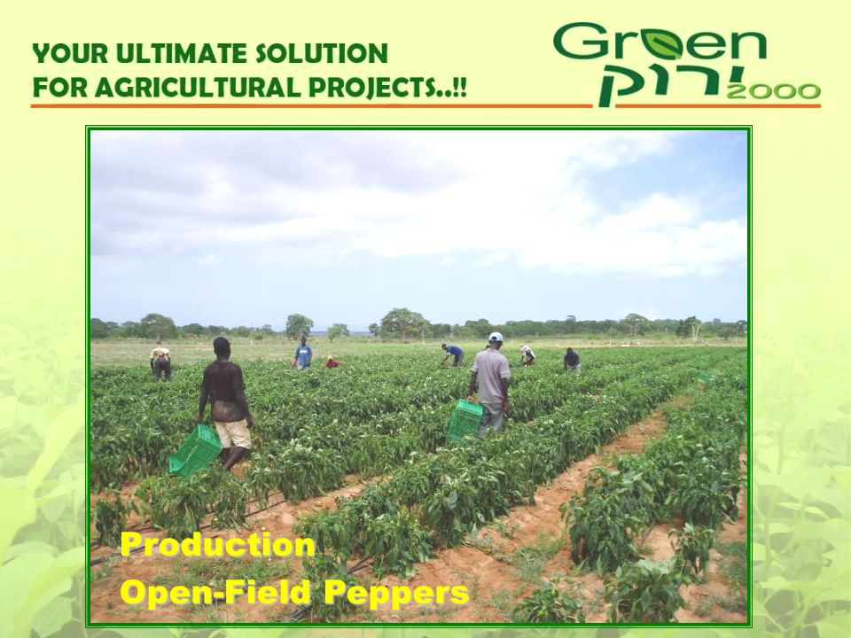 Production Open-Field Peppers