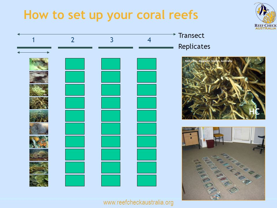 www.reefcheckaustralia.org 1234 Transect Replicates How to set up your coral reefs