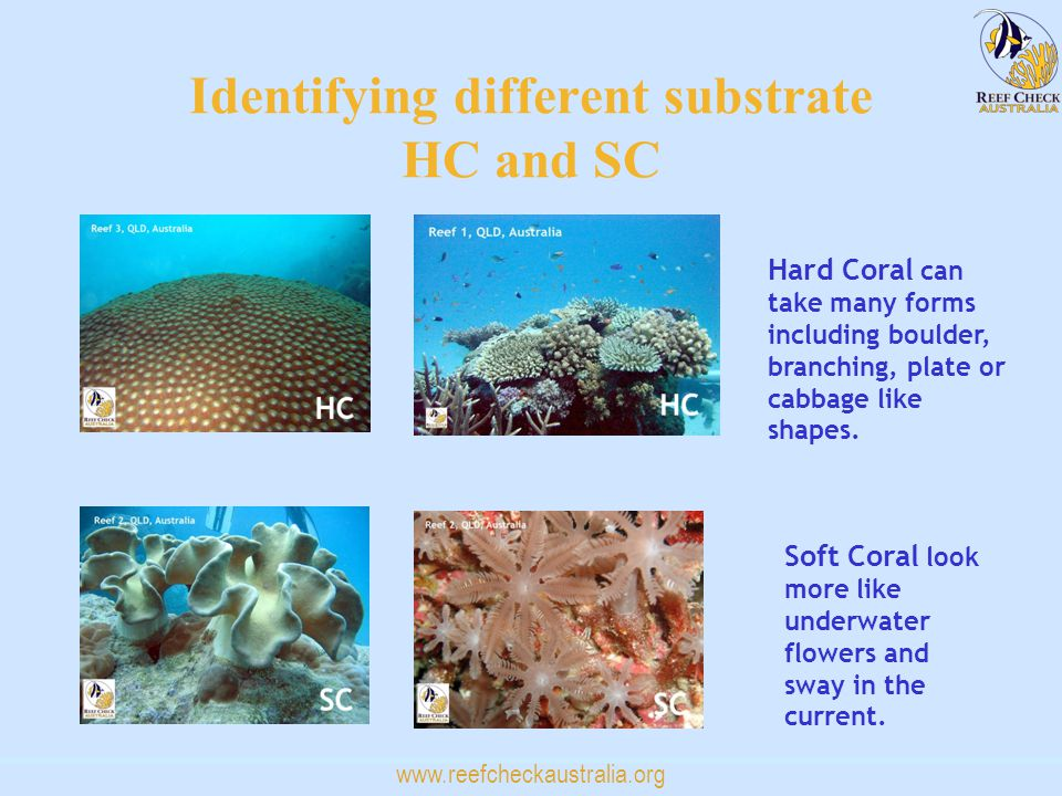 www.reefcheckaustralia.org Identifying different substrate HC and SC Hard Coral can take many forms including boulder, branching, plate or cabbage like shapes.