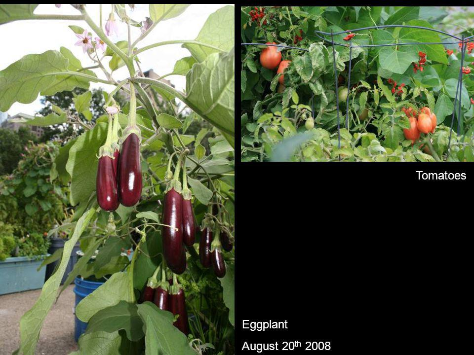 Eggplant August 20 th 2008 Tomatoes