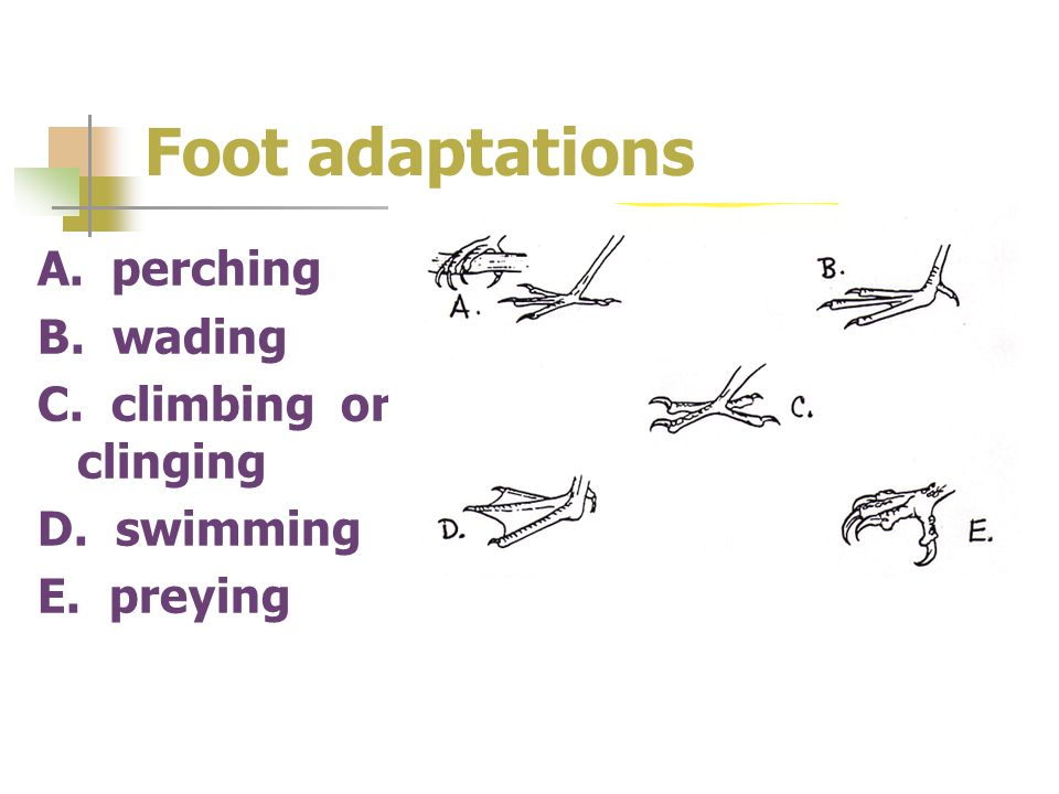 Foot adaptations A. perching B. wading C. climbing or clinging D. swimming E. preying