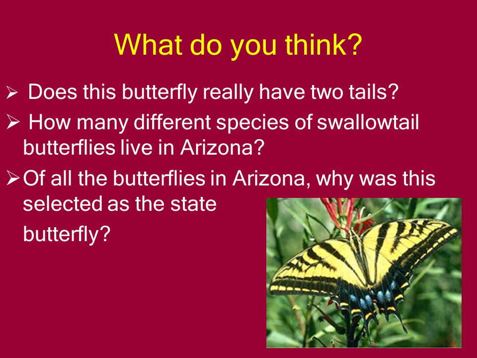 TWO-TAILED SWALLOWTAIL Arizona residents and the state legislature chose me in 2001.