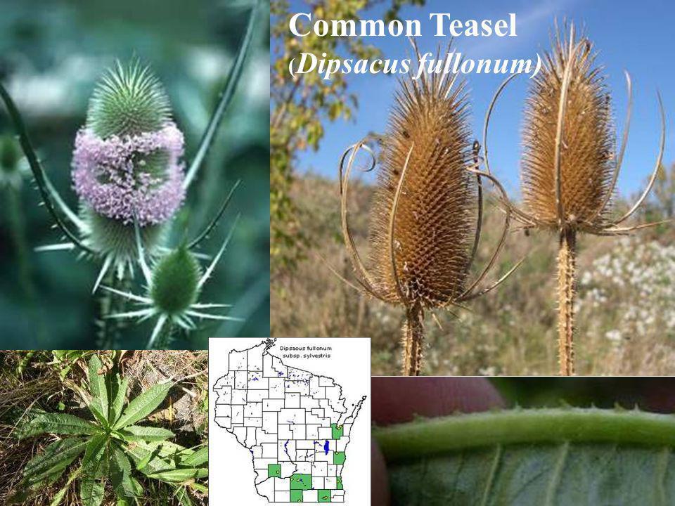 Common Teasel ( Dipsacus fullonum)