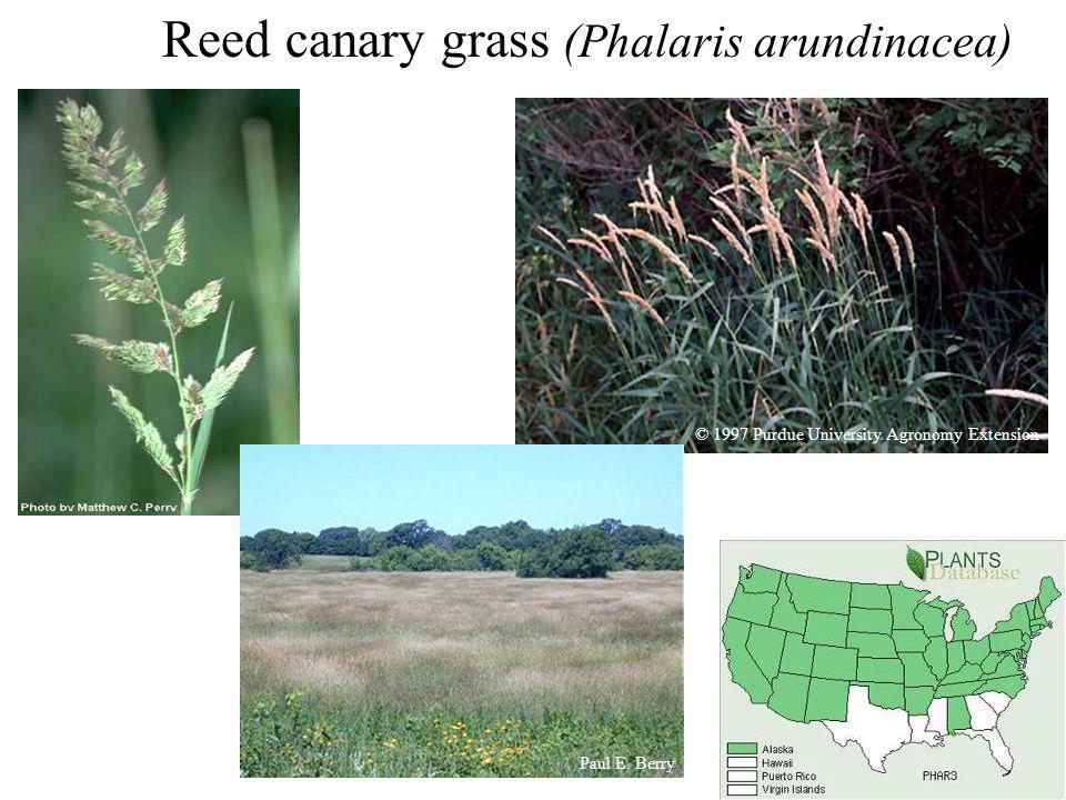 Reed canary grass (Phalaris arundinacea) Paul E. Berry © 1997 Purdue University Agronomy Extension