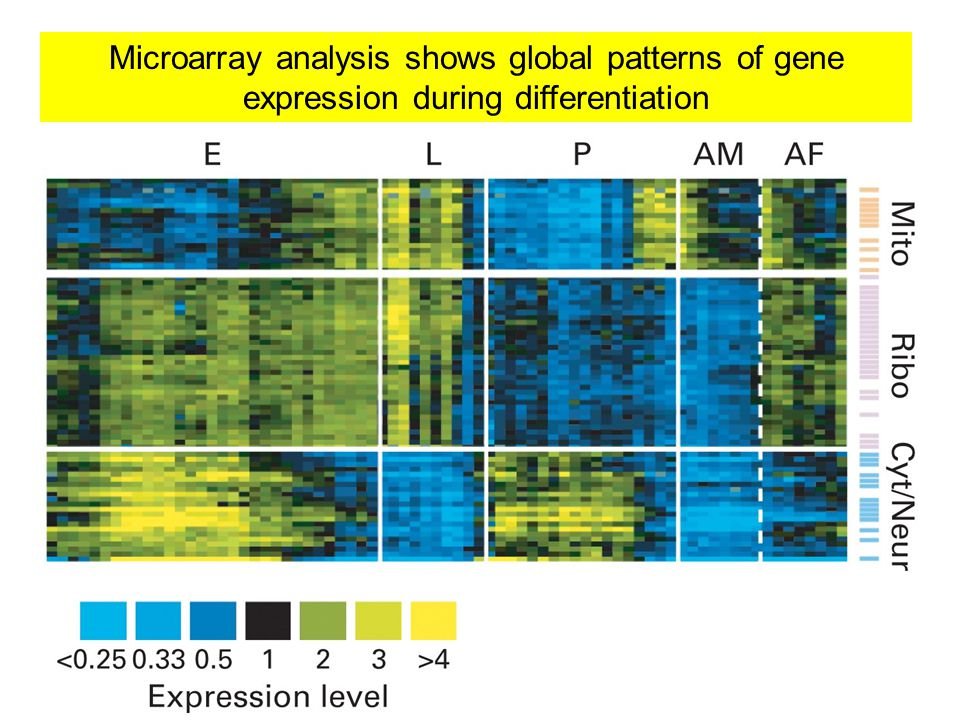 Microarray analysis shows global patterns of gene expression during differentiation