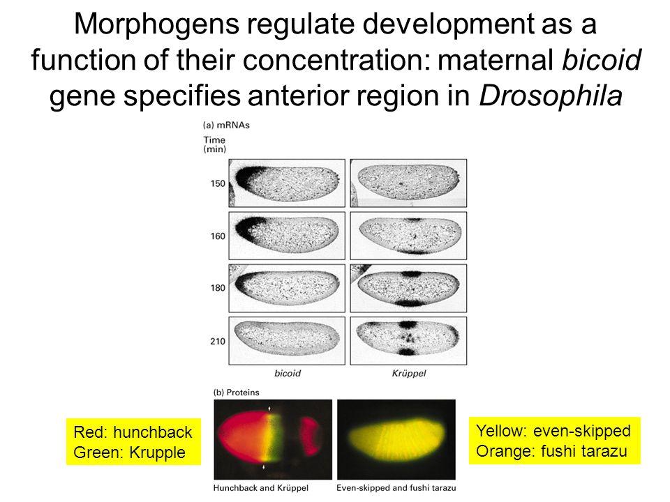 Morphogens regulate development as a function of their concentration: maternal bicoid gene specifies anterior region in Drosophila Yellow: even-skipped Orange: fushi tarazu Red: hunchback Green: Krupple