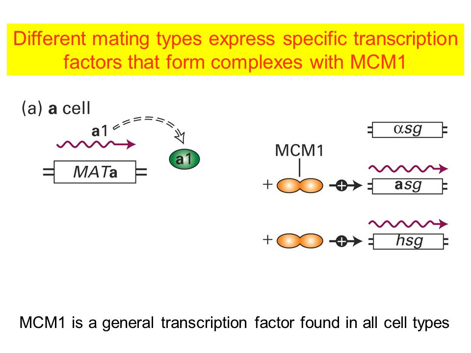 MCM1 is a general transcription factor found in all cell types Different mating types express specific transcription factors that form complexes with MCM1