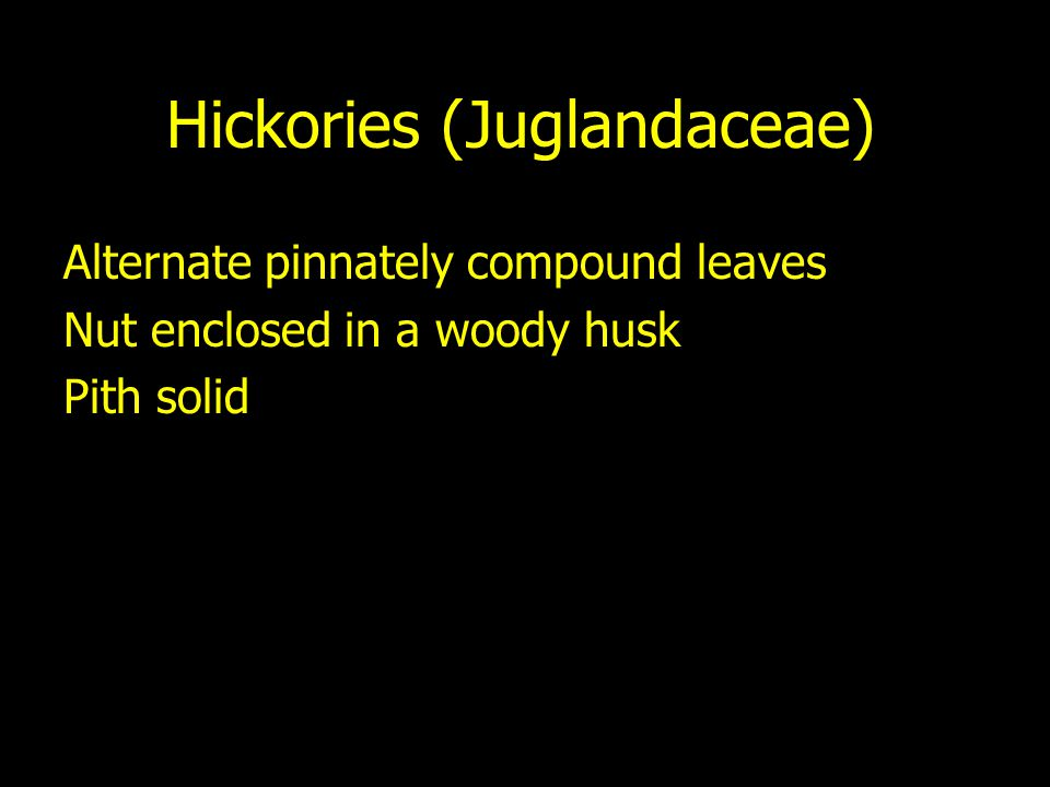 Hickories (Juglandaceae) Alternate pinnately compound leaves Nut enclosed in a woody husk Pith solid