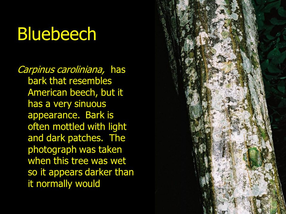 Bluebeech Carpinus caroliniana, has bark that resembles American beech, but it has a very sinuous appearance. Bark is often mottled with light and dar