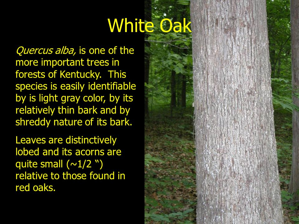 White Oak Quercus alba, is one of the more important trees in forests of Kentucky. This species is easily identifiable by is light gray color, by its