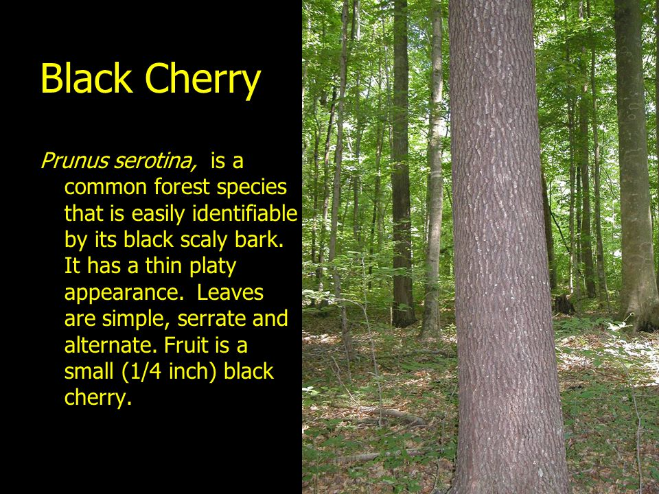 Black Cherry Prunus serotina, is a common forest species that is easily identifiable by its black scaly bark. It has a thin platy appearance. Leaves a