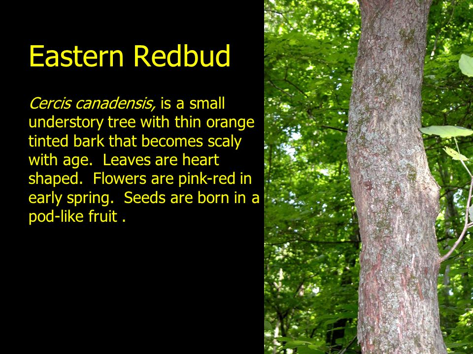 Eastern Redbud Cercis canadensis, is a small understory tree with thin orange tinted bark that becomes scaly with age. Leaves are heart shaped. Flower