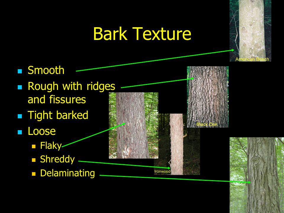 Bark Texture Smooth Rough with ridges and fissures Tight barked Loose Flaky Shreddy Delaminating
