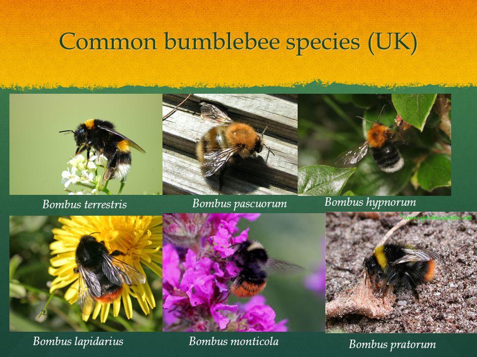 Bombus terrestris Bombus lapidarius Bombus pascuorum Bombus monticola Bombus hypnorum Bombus pratorum Common bumblebee species (UK)