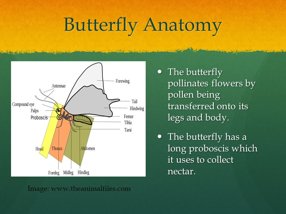 Butterfly Anatomy The butterfly pollinates flowers by pollen being transferred onto its legs and body.