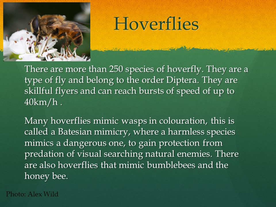 Hoverflies Hoverflies There are more than 250 species of hoverfly.