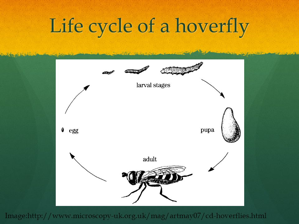 Life cycle of a hoverfly Image:http://www.microscopy-uk.org.uk/mag/artmay07/cd-hoverflies.html