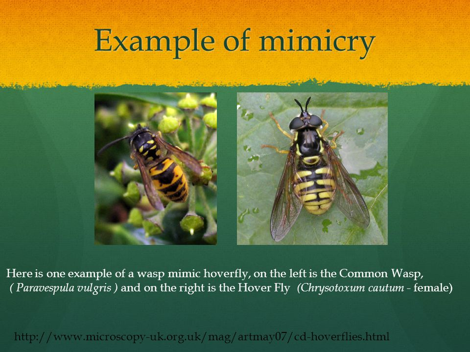 Example of mimicry Here is one example of a wasp mimic hoverfly, on the left is the Common Wasp, ( Paravespula vulgris ) and on the right is the Hover Fly (Chrysotoxum cautum - female) http://www.microscopy-uk.org.uk/mag/artmay07/cd-hoverflies.html