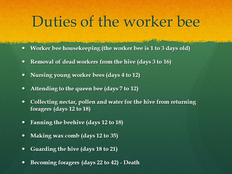 Duties of the worker bee Worker bee housekeeping (the worker bee is 1 to 3 days old) Worker bee housekeeping (the worker bee is 1 to 3 days old) Removal of dead workers from the hive (days 3 to 16) Removal of dead workers from the hive (days 3 to 16) Nursing young worker bees (days 4 to 12) Nursing young worker bees (days 4 to 12) Attending to the queen bee (days 7 to 12) Attending to the queen bee (days 7 to 12) Collecting nectar, pollen and water for the hive from returning foragers (days 12 to 18) Collecting nectar, pollen and water for the hive from returning foragers (days 12 to 18) Fanning the beehive (days 12 to 18) Fanning the beehive (days 12 to 18) Making wax comb (days 12 to 35) Making wax comb (days 12 to 35) Guarding the hive (days 18 to 21) Guarding the hive (days 18 to 21) Becoming foragers (days 22 to 42) - Death Becoming foragers (days 22 to 42) - Death