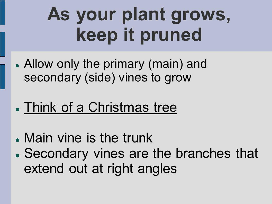 As your plant grows, keep it pruned Allow only the primary (main) and secondary (side) vines to grow Think of a Christmas tree Main vine is the trunk Secondary vines are the branches that extend out at right angles