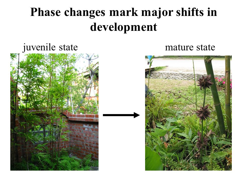 Phase changes mark major shifts in development juvenile statemature state