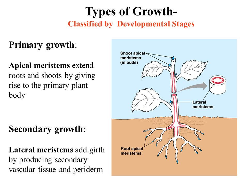Types of Growth- Classified by Developmental Stages Primary growth: Apical meristems extend roots and shoots by giving rise to the primary plant body Secondary growth: Lateral meristems add girth by producing secondary vascular tissue and periderm
