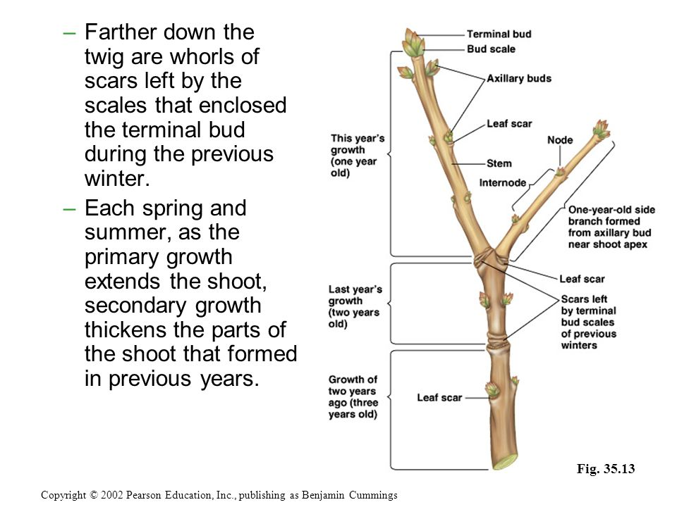 –Farther down the twig are whorls of scars left by the scales that enclosed the terminal bud during the previous winter.