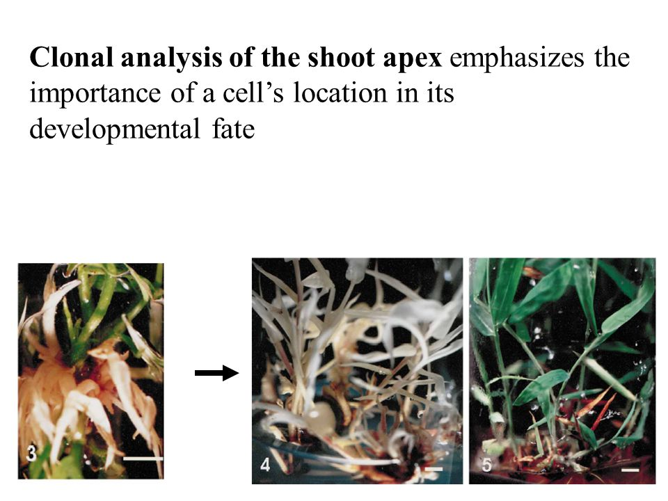 Clonal analysis of the shoot apex emphasizes the importance of a cells location in its developmental fate