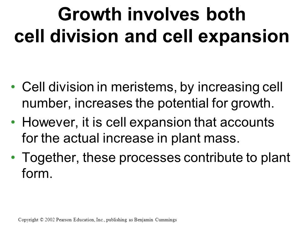 Cell division in meristems, by increasing cell number, increases the potential for growth.