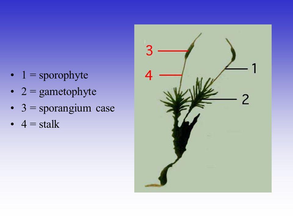 1 = sporophyte 2 = gametophyte 3 = sporangium case 4 = stalk