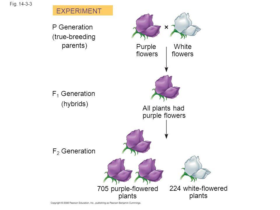 Fig. 14-3-3 EXPERIMENT P Generation (true-breeding parents) Purple flowers White flowers F 1 Generation (hybrids) All plants had purple flowers F 2 Ge