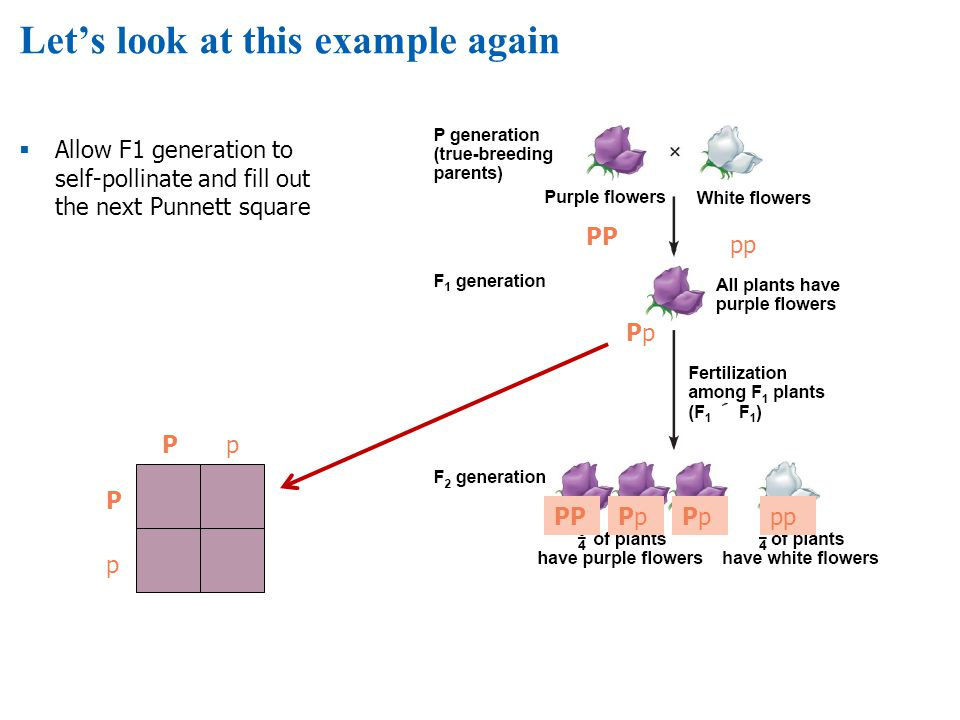 Lets look at this example again Allow F1 generation to self-pollinate and fill out the next Punnett square PP pp PpPp PPPpPpPpPppp Pp p P