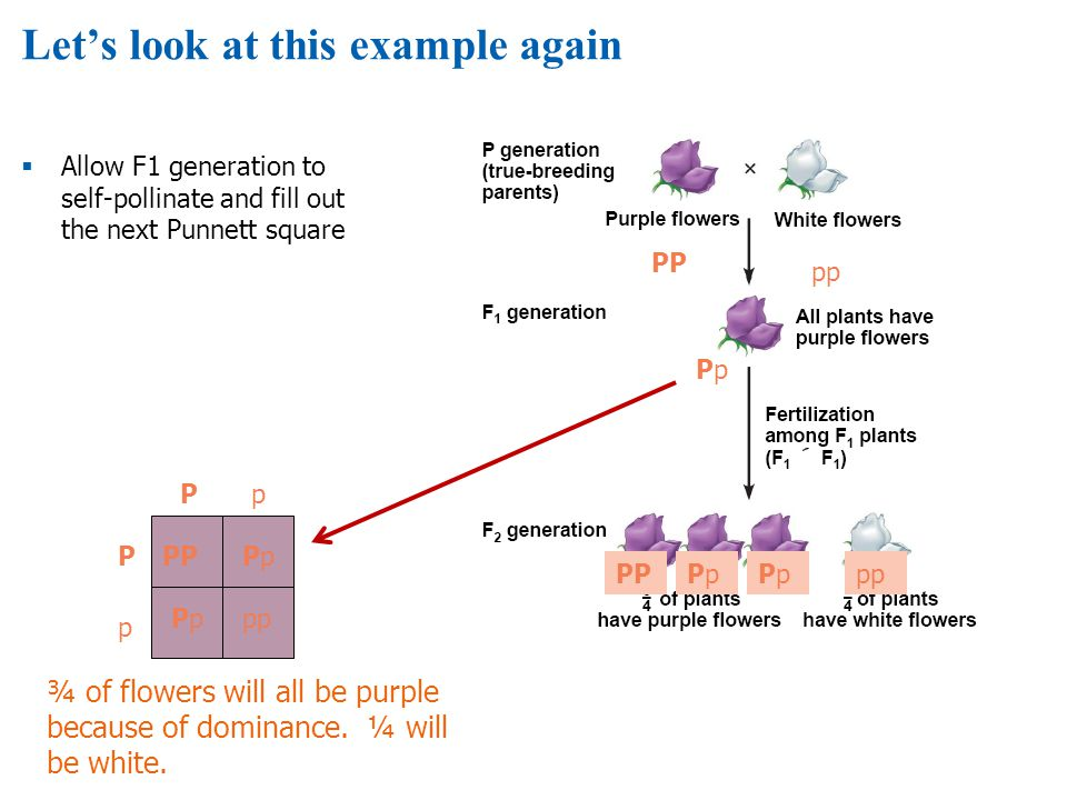 Lets look at this example again Allow F1 generation to self-pollinate and fill out the next Punnett square PP pp PpPp PPPpPpPpPppp Pp p PPPpPp PpPppp ¾ of flowers will all be purple because of dominance.