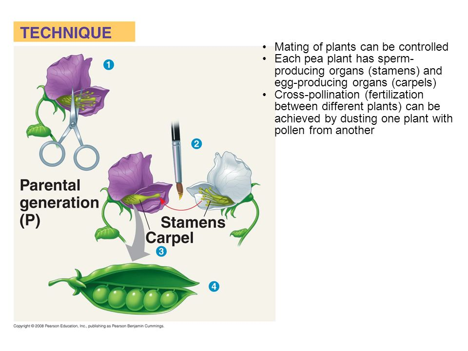 Mating of plants can be controlled Each pea plant has sperm- producing organs (stamens) and egg-producing organs (carpels) Cross-pollination (fertilization between different plants) can be achieved by dusting one plant with pollen from another