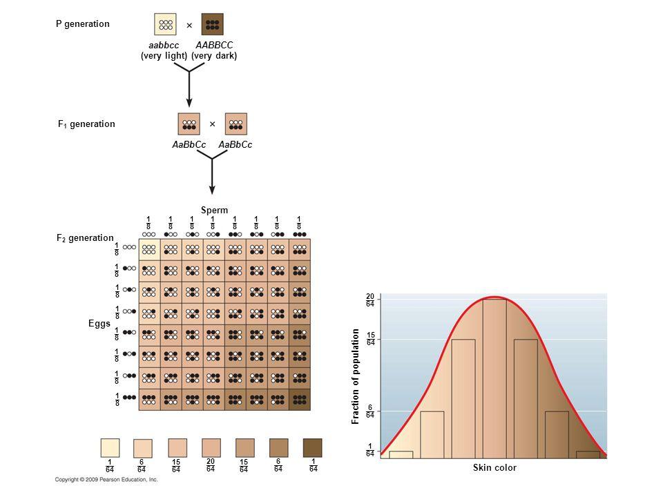 P generation 1–81–8 F 1 generation F 2 generation Fraction of population Skin color Eggs Sperm 1–81–8 1–81–8 1–81–8 1–81–8 1–81–8 1–81–8 1–81–8 1–81–8 1–81–8 1–81–8 1–81–8 1–81–8 1–81–8 1–81–8 1–81–8 aabbcc (very light) AABBCC (very dark) AaBbCc 1 –– 64 15 –– 64 6 –– 64 1 –– 64 15 –– 64 6 –– 64 20 –– 64 1 –– 64 15 –– 64 6 –– 64 20 –– 64