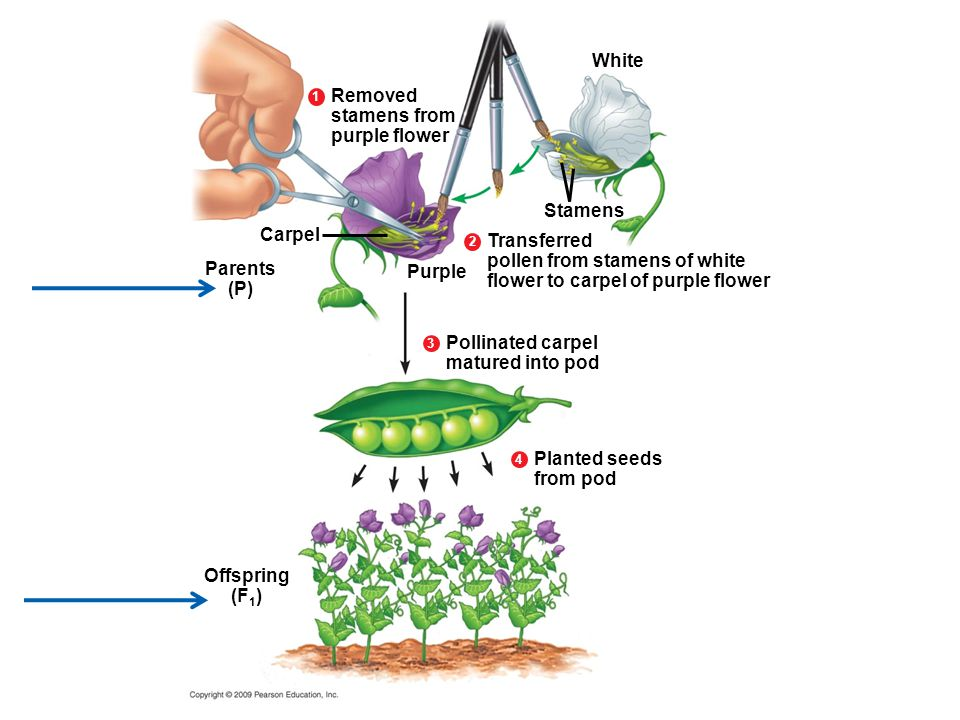 Transferred pollen from stamens of white flower to carpel of purple flower Stamens Carpel Parents (P) Purple 2 White Removed stamens from purple flower 1 Pollinated carpel matured into pod 3 Offspring (F 1 ) Planted seeds from pod 4
