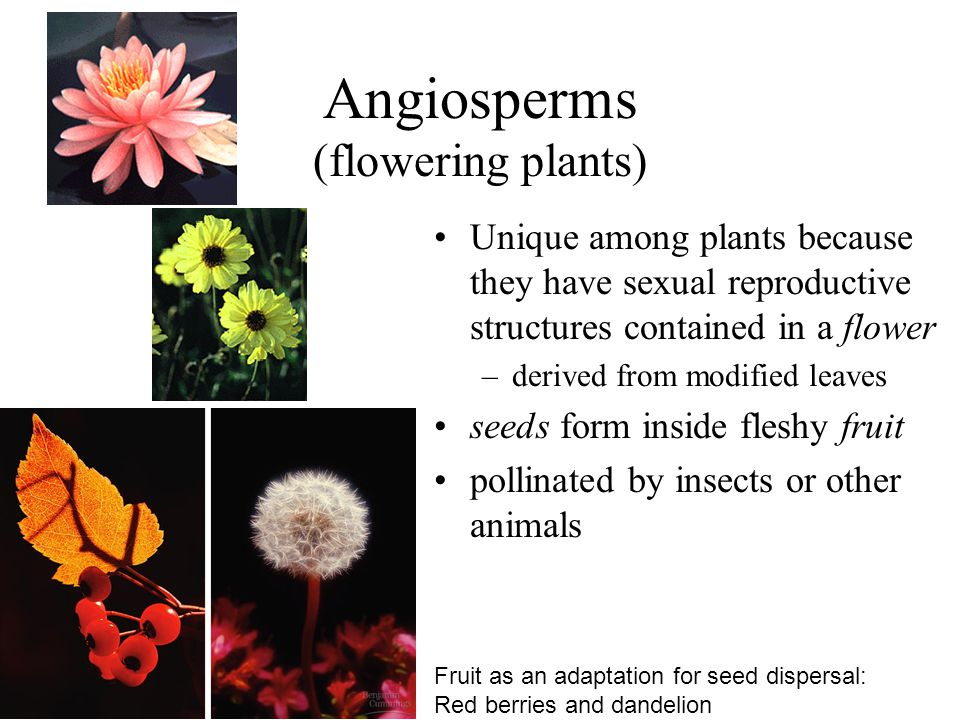 Angiosperms (flowering plants) Unique among plants because they have sexual reproductive structures contained in a flower –derived from modified leave