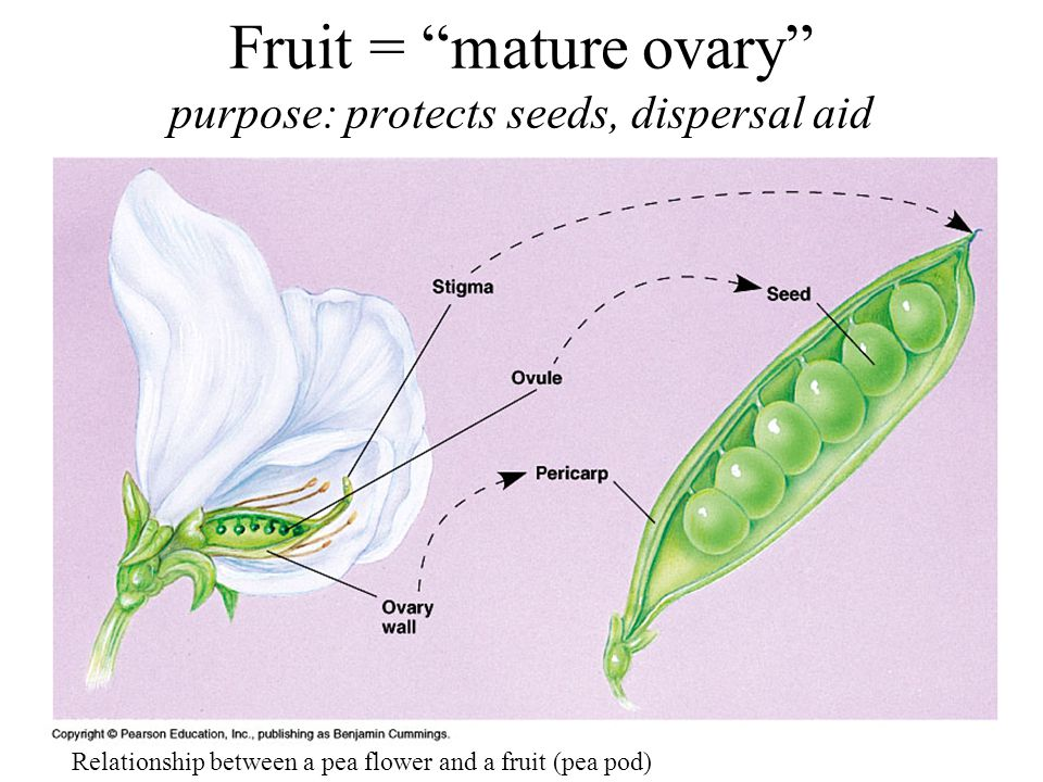 Fruit = mature ovary purpose: protects seeds, dispersal aid Relationship between a pea flower and a fruit (pea pod)