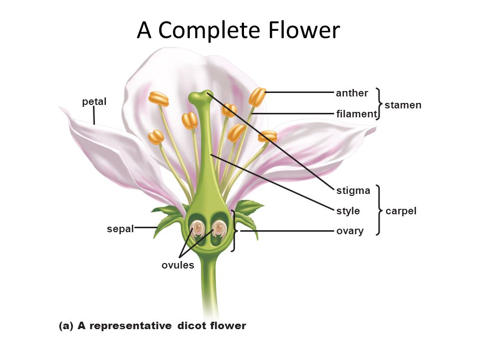 sepal ovules petal filament style stigma anther ovary carpel stamen (a) A representative dicot flower A Complete Flower