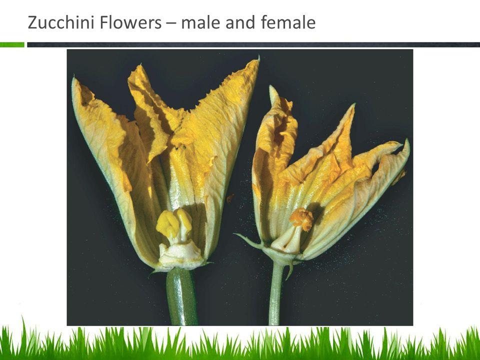 Zucchini Flowers – male and female