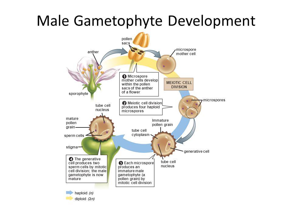 Male Gametophyte Development microspore mother cell pollen sacs microspores anther sporophyte sperm cells stigma tube cell nucleus mature pollen grain