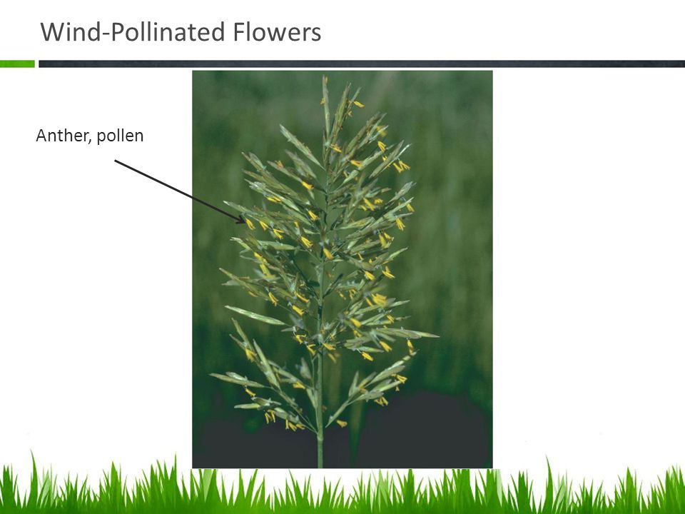 Wind-Pollinated Flowers Anther, pollen