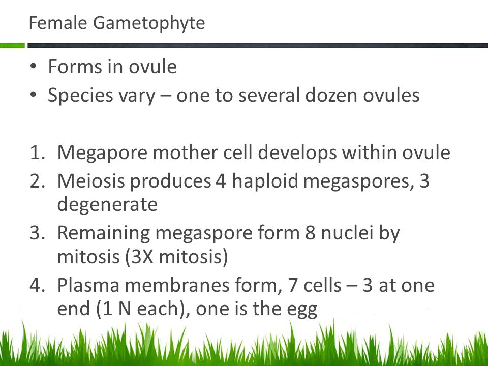 Female Gametophyte Forms in ovule Species vary – one to several dozen ovules 1.Megapore mother cell develops within ovule 2.Meiosis produces 4 haploid